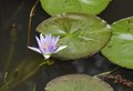 A blue water lily indian lotus is also called as Royalty Free Stock Photos