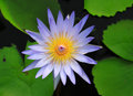 Blue water lily top view of blooming Stock Photography