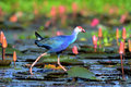Blue waterfowl walking among pink lotus is Stock Image