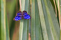 Blue wave butterfly the banded purplewing tropical whitened bluewing or royal myscelia cyaniris Royalty Free Stock Image