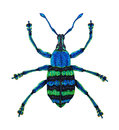 Blue weevil eupholus magnificus is from papua new guinea the picture is drawn manually it s drawn by a pencil and Royalty Free Stock Photo