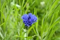 Blue wheat flower in green grass beautiful dutch nature Royalty Free Stock Images