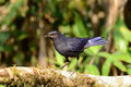 Blue whistling thrush Stock Photo