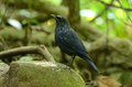 Blue whistling thrush Royalty Free Stock Photos