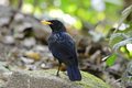 Blue whistling thrush Royalty Free Stock Images
