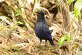 Blue whistling thrush beautiful myiophoneus caeruleus in thai forest Stock Photos