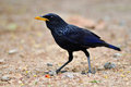 Blue Whistling Thrush Bird Stock Photos