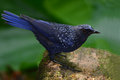 Blue whistling thrush bird a black bill in thailand Stock Images