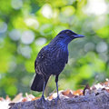 Blue whistling thrush bird mophonus caeruleus standing on the log breast profile with agreen background Stock Photo