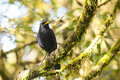 Blue whistling thrush catching on a forest tree branch Royalty Free Stock Photo