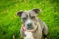 Blue and white american pit bull terrier headshot