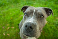 Blue and white american pit bull terrier wide angle Royalty Free Stock Photo