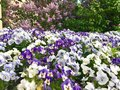 Blue and white flowers Pansy Royalty Free Stock Photo