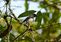 Blue and white flycatcher cyanoptila cyanomelana beatiful possing on the branch Stock Images
