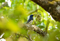 Blue and white flycatcher cyanoptila cyanomelana beatiful possing on the branch Royalty Free Stock Image