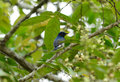 Blue and white flycatcher cyanoptila cyanomelana beatiful possing on the branch Stock Photography