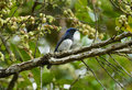 Blue and white flycatcher cyanoptila cyanomelana beatiful possing on the branch Royalty Free Stock Photo
