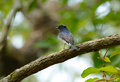 Blue and white flycatcher cyanoptila cyanomelana beatiful possing on the branch Royalty Free Stock Photography