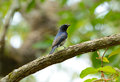 Blue and white flycatcher cyanoptila cyanomelana beatiful possing on the branch Royalty Free Stock Photos