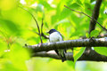 Blue and white flycatcher cyanoptila cyanomelana male in japan Royalty Free Stock Images