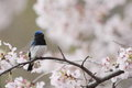 Blue and white flycatcher cyanoptila cyanomelana male in japan Stock Photos