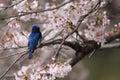 Blue and white flycatcher cyanoptila cyanomelana male in japan Stock Images