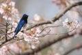 Blue and white flycatcher cyanoptila cyanomelana male in japan Royalty Free Stock Photo