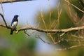 Blue and white flycatcher cyanoptila cyanomelana male in japan Royalty Free Stock Image
