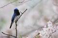 Blue and white flycatcher cyanoptila cyanomelana male in japan Royalty Free Stock Images