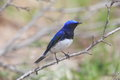 Blue and white flycatcher on tree branch close up picture of a beautiflulblue bird which was usually it is difficult to approach Royalty Free Stock Image
