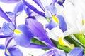 Blue and white iris Royalty Free Stock Photo