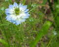 Blue and White Love in a Mist Flower Royalty Free Stock Photo