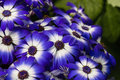 Blue and white osteospermum flowers Royalty Free Stock Photo