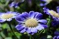 Blue- White Pericallis Senetti...