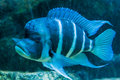 Blue and white triped tropical fish big fins Royalty Free Stock Photo