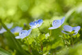 Blue Wild Flowers On Defocused...