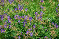 Blue wild flowers meadow geranium Royalty Free Stock Photo
