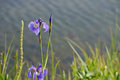 Blue wild iris iris setosa blooming in june with lake water background at reflections lake in palmer alaska hay flats game refuge Stock Images