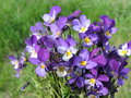 Blue wild pansy blooming in spring lithuania Royalty Free Stock Images