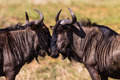 Blue Wildebeest Affections Wildlife Royalty Free Stock Image