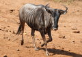 Blue wildebeest connochaetes taurinus also called the common or the white bearded at pilanesberg national Stock Photo