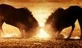 Blue wildebeest dual in dust kalahari desert south africa Stock Image
