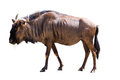 Blue wildebeest male isolated on white background Royalty Free Stock Photos