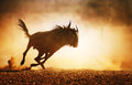 Blue wildebeest running in dust kalahari desert south africa Stock Photography