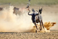 Blue wildebeest running on dusty plains