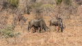 Blue wildebeest three grazing in the dry grasslands of pilanesberg national park in south africa Stock Photos