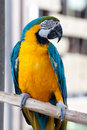 Blue wing yellow chest parrot Royalty Free Stock Image