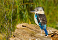 Blue winged kookaburra Royalty Free Stock Photos