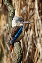 Blue-winged kookaburra (Dacelo leachii) Royalty Free Stock Photo