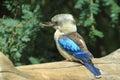 Blue-winged kookaburra Royalty Free Stock Photo